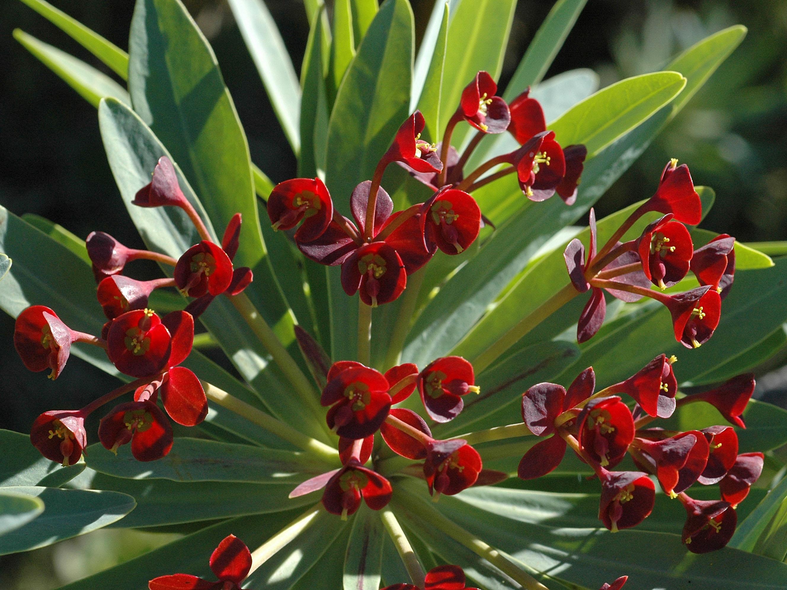 Euphorbia atropurpurea