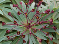 Euphorbia bravoana