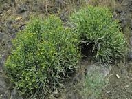 Euphorbia aphylla