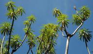 Euphorbia berthelotii