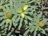 Euphorbia balsamifera