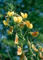 Ononis natrix