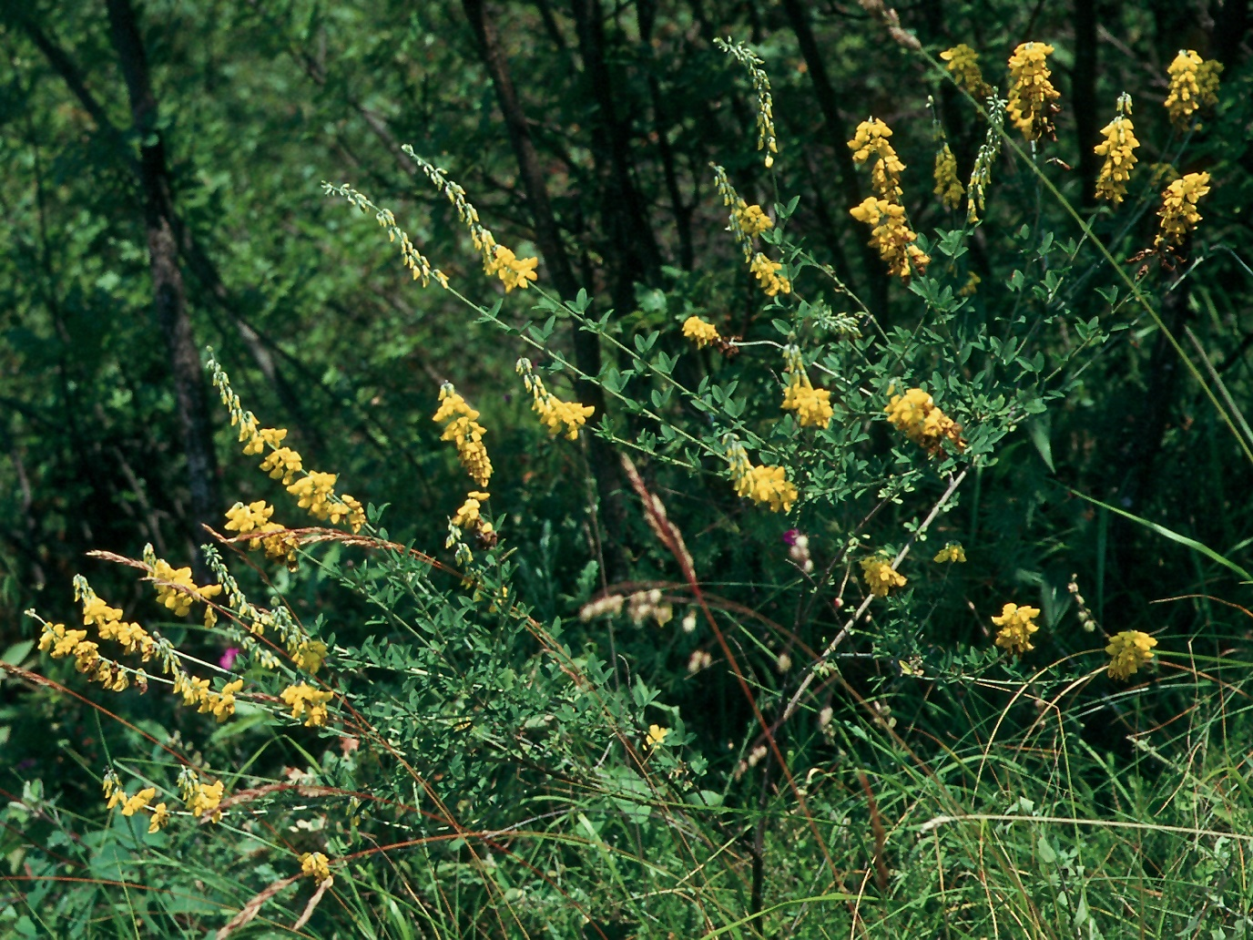 Cytisus nigricans