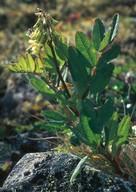 Astragalus frigidus
