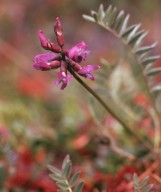 Oxytropis lapponica