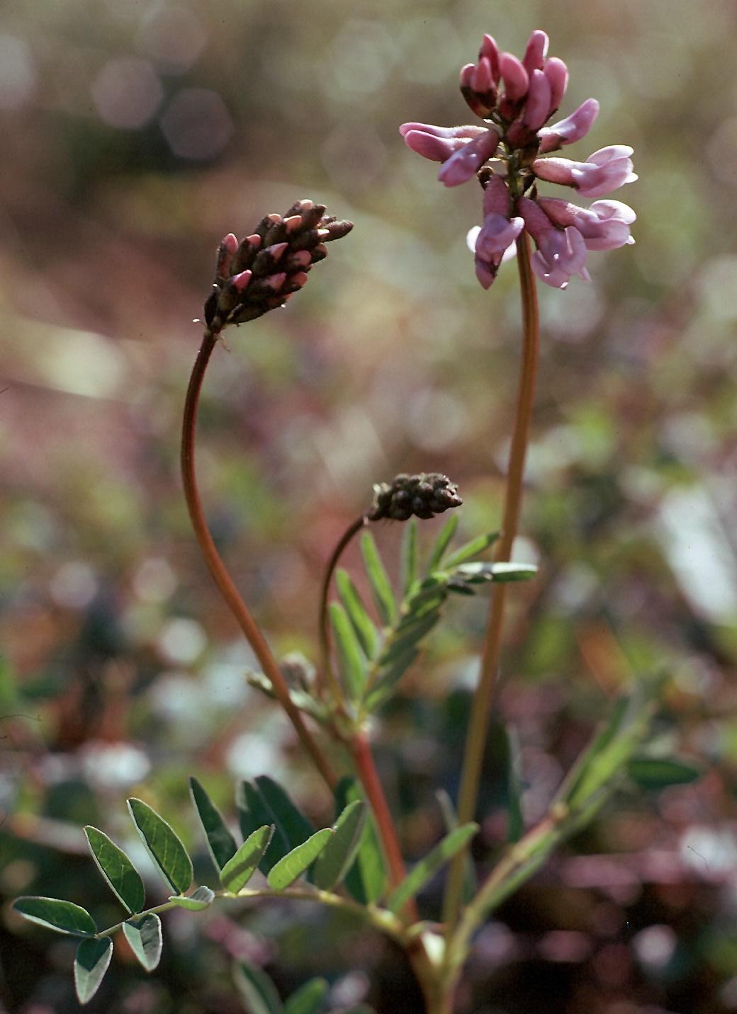 Astragalus norvegicus