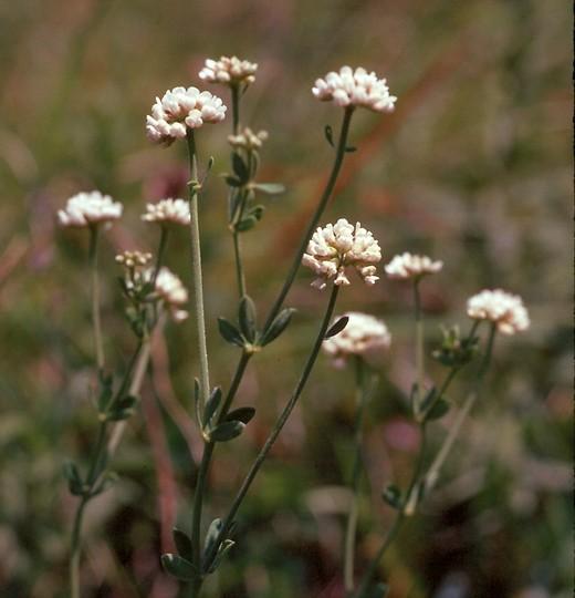 Dorycnium herbaceum