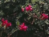 Vicia pyrenaica