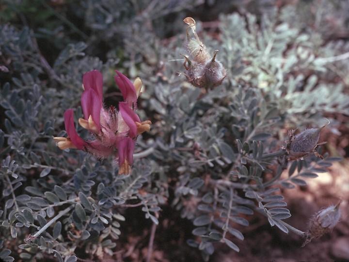Astragalus vesicarius