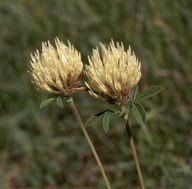 Trifolium ochroleucum
