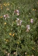 Vicia argentea