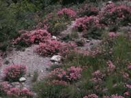 Ononis fruticosa