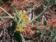Astragalus exscapus