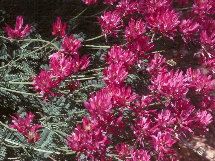 Astragalus sp.1
