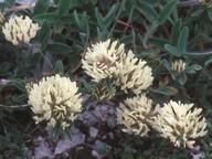 Trifolium pratense var. frigidum