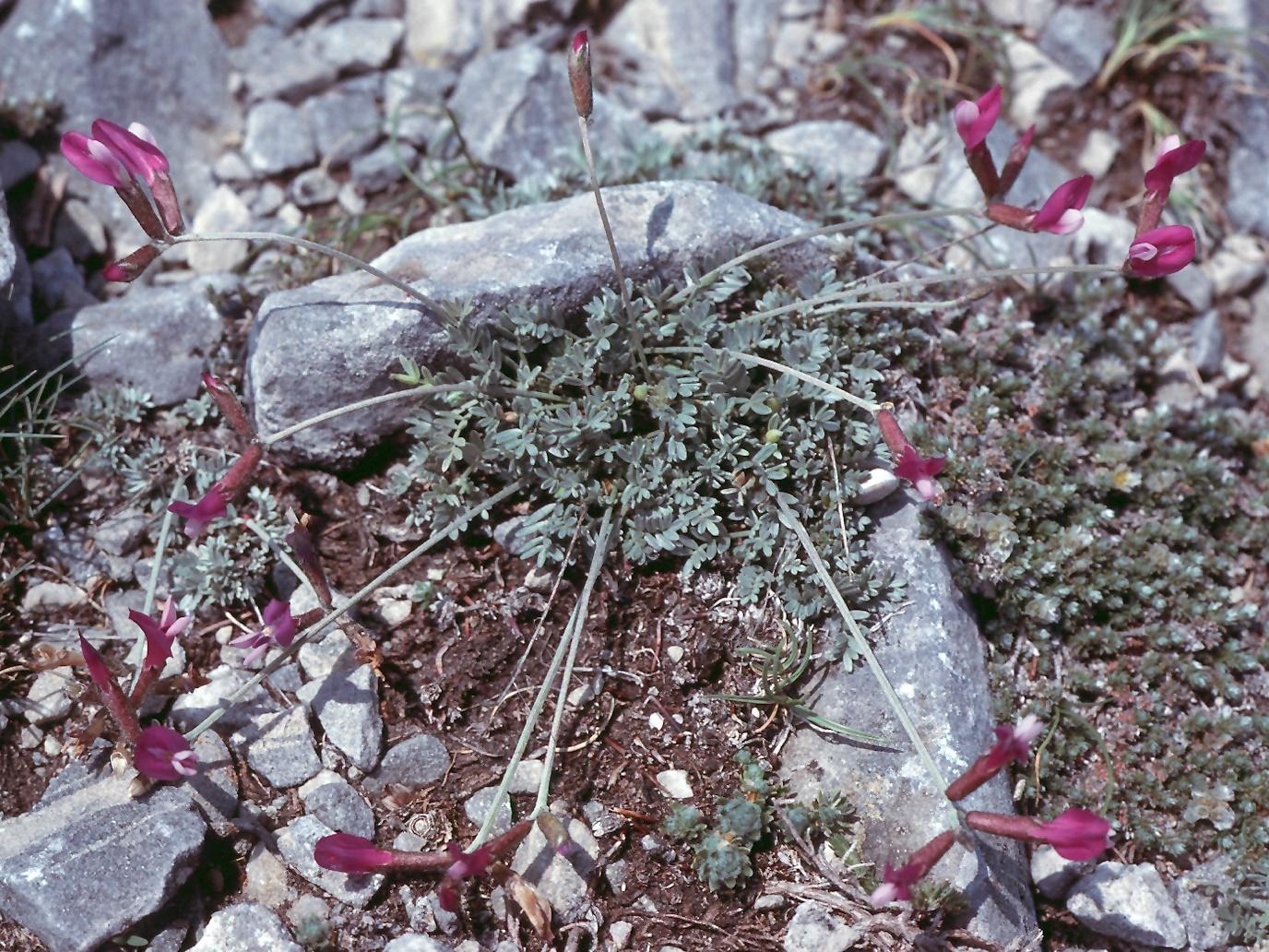 Astragalus sericophyllus?