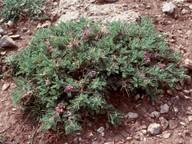 Astragalus parnassi?