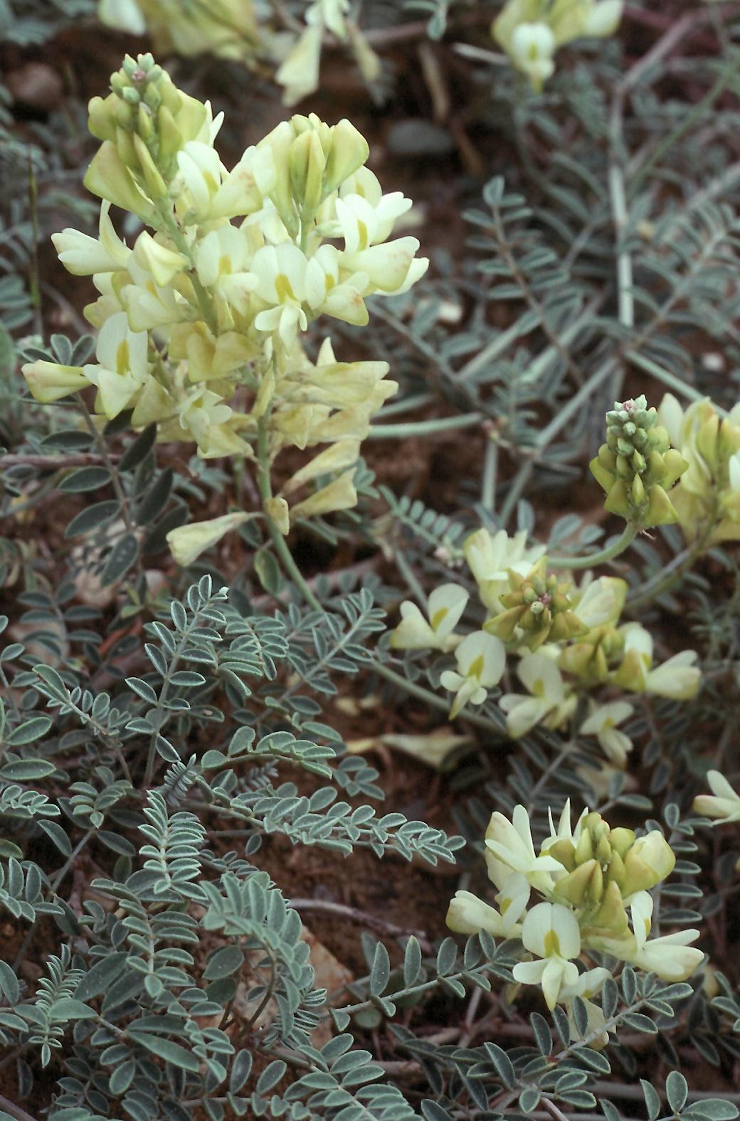 Astragalus sp.8