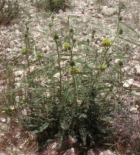 Astragalus sp.6