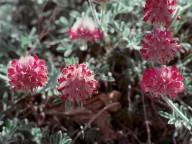 Anthyllis sp.1