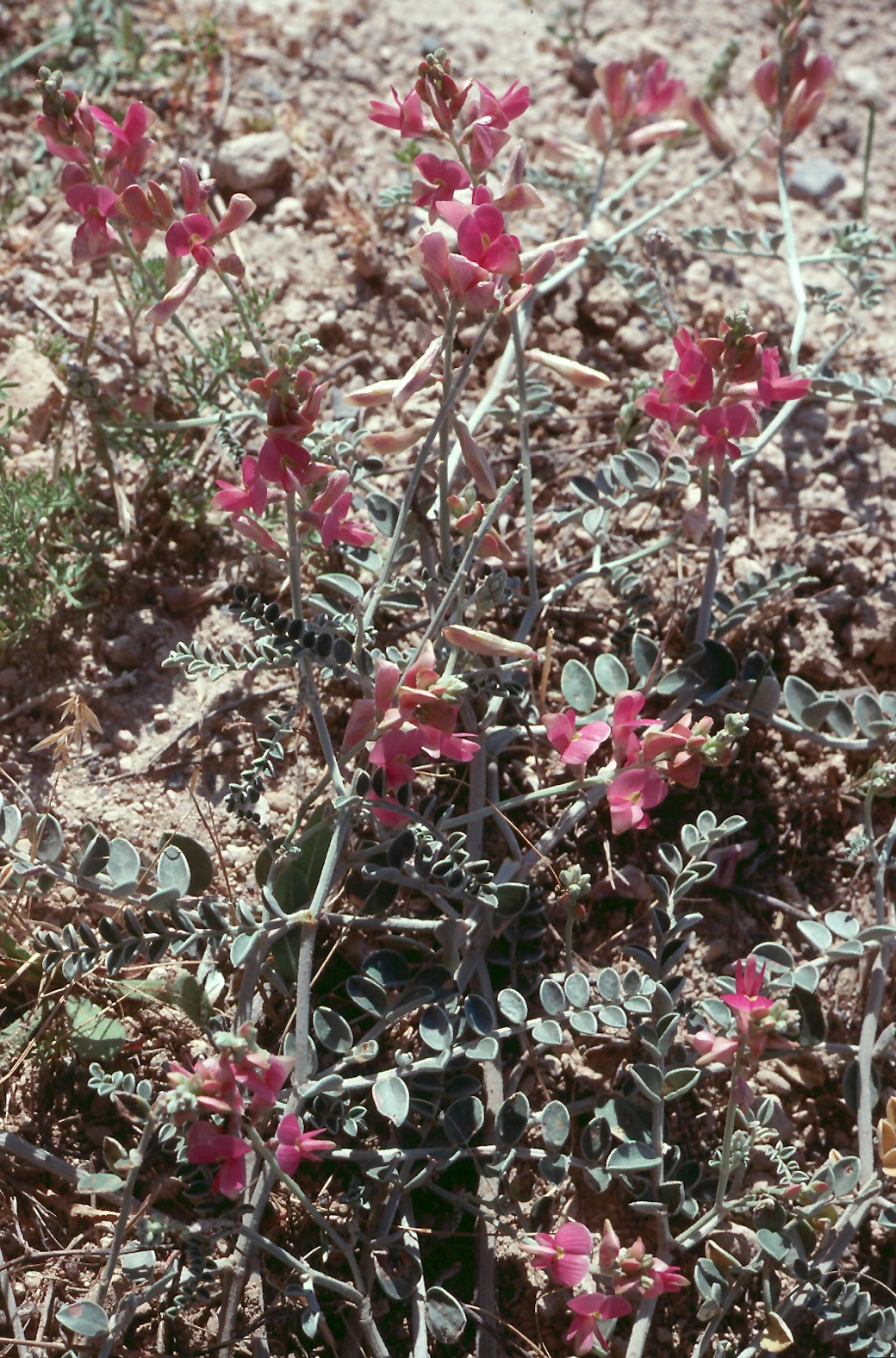 Lathyrus sp.2