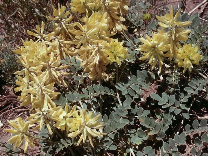 Astragalus sp.7