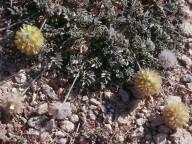 Anthyllis sp.2