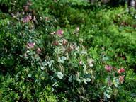 Ononis rotundifolia