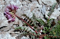 Oxytropis sp. 