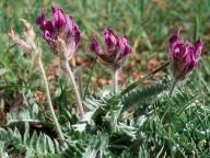 Astragalus purpureus