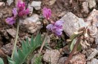 Oxytropis gaudinii