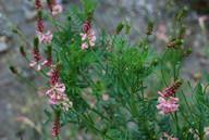 Onobrychis viciifolia