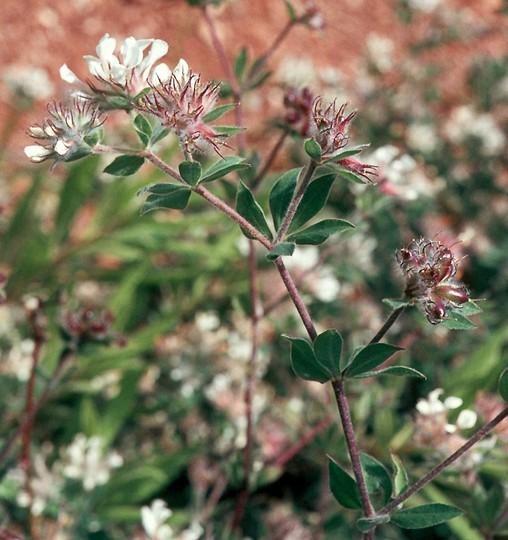 Dorycnium hirsutum