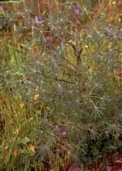 Lupinus angustifolius