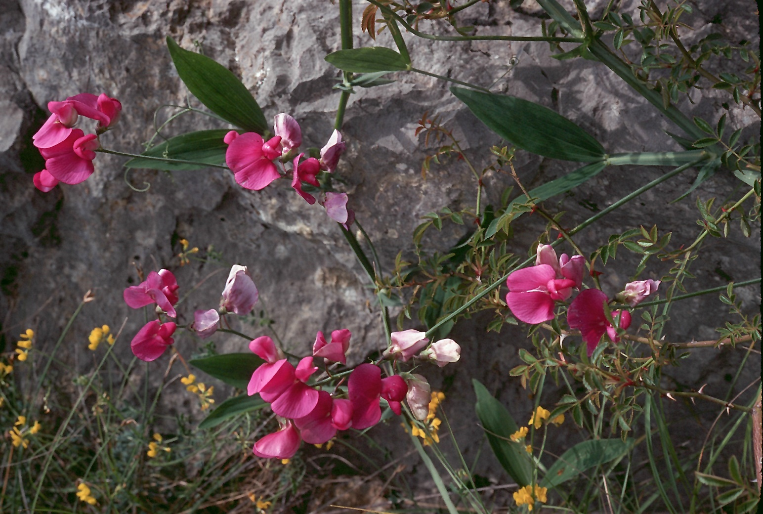 Lathyrus latifolius