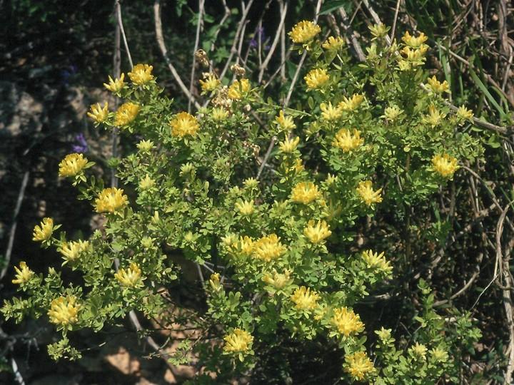Anthyllis sp.