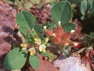 Physanthyllis tetraphylla