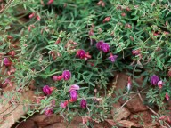 Vicia pubescens