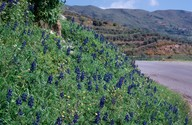 Lupinus albus ssp. graecus