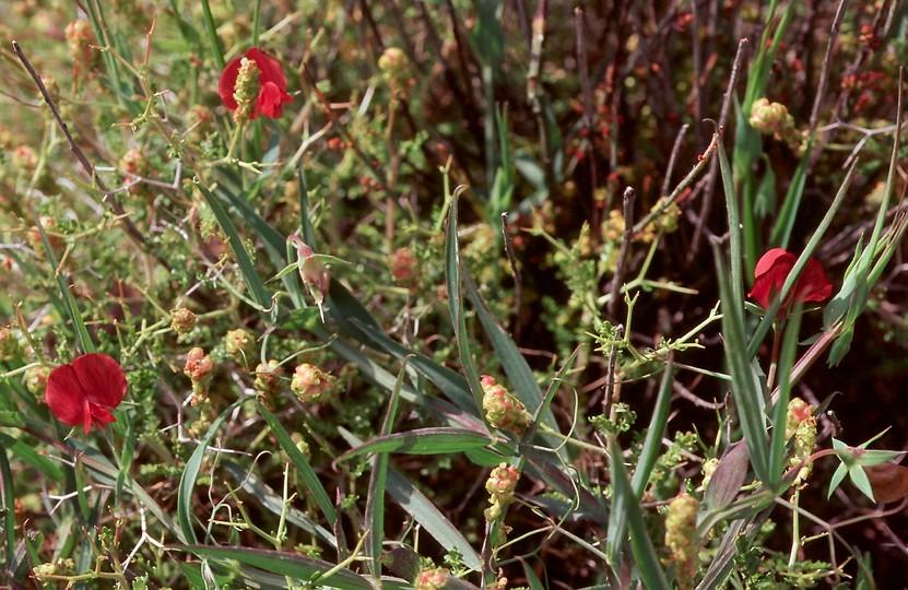 Lathyrus setifolius