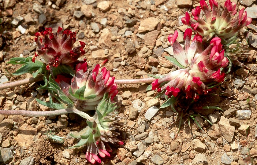 Anthyllis vulneraria ssp. rubrifolia