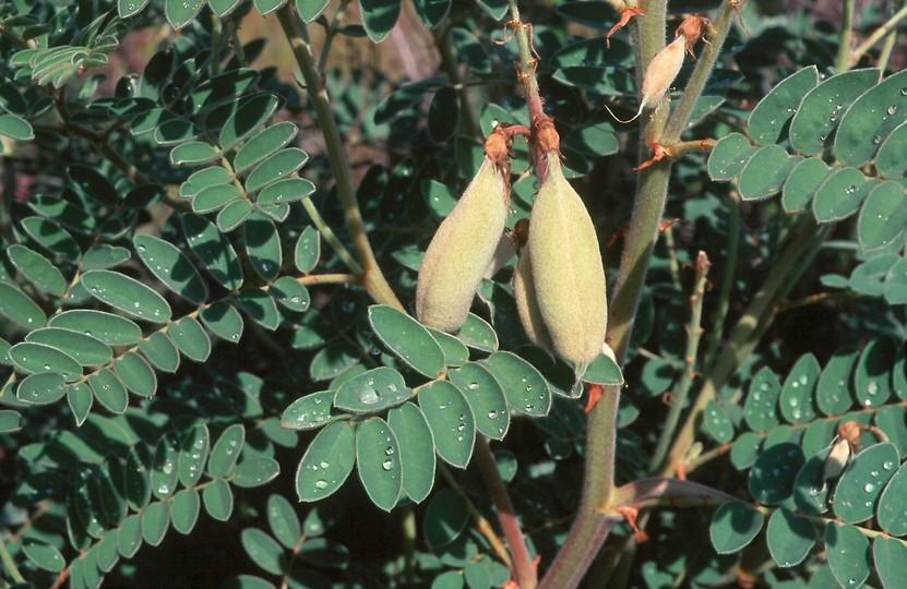 Astragalus lusitanicus ssp. orientalis