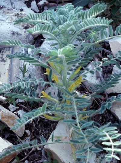 Astragalus macrocarpus ssp. lefkarensis
