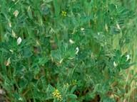 Ononis biflora