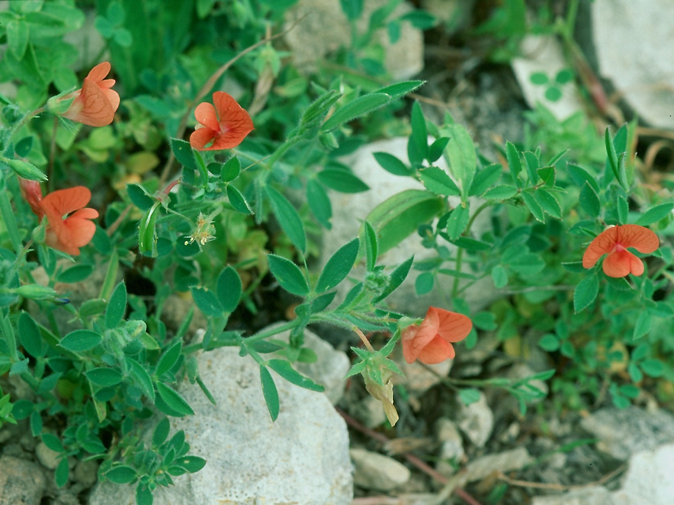 Lathyrus blepharicarpus