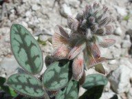 Onobrychis venosa