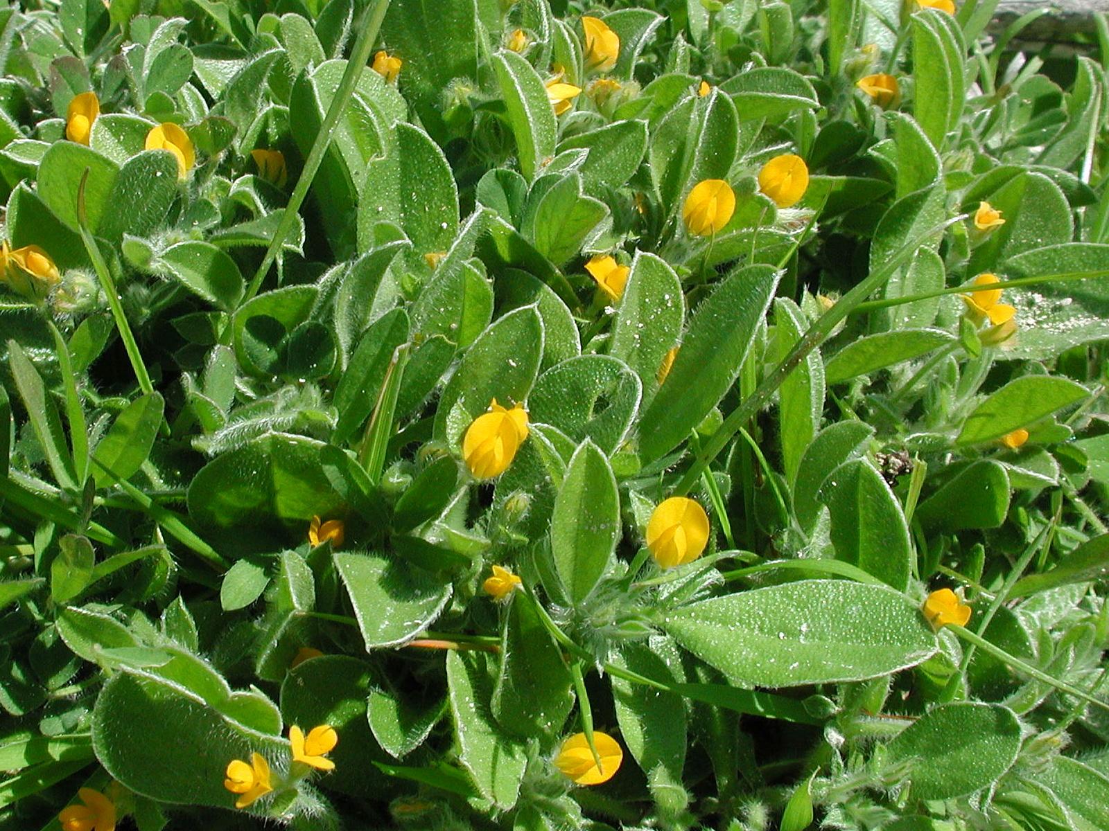 Hymenocarpus uncinnatus