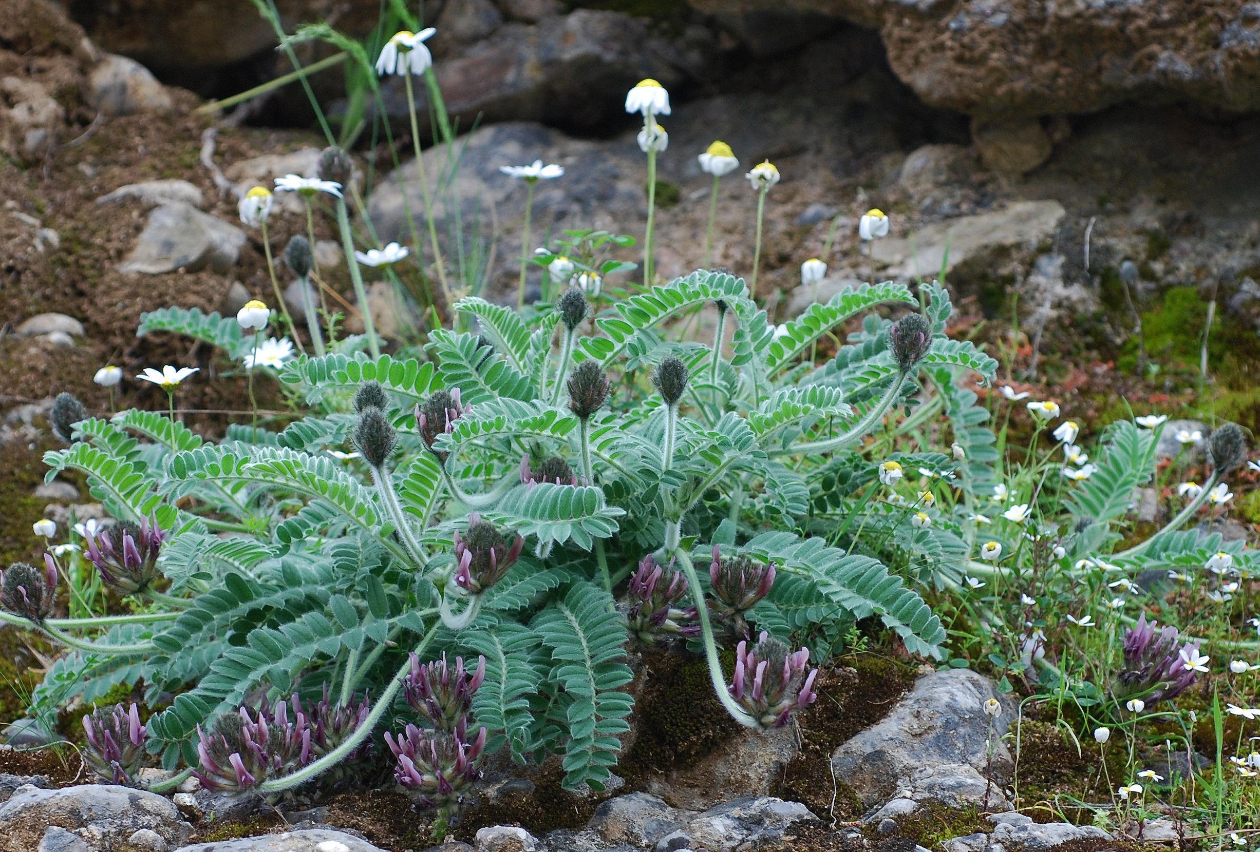 Astragalus sp.3