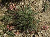 Astragalus spruneri