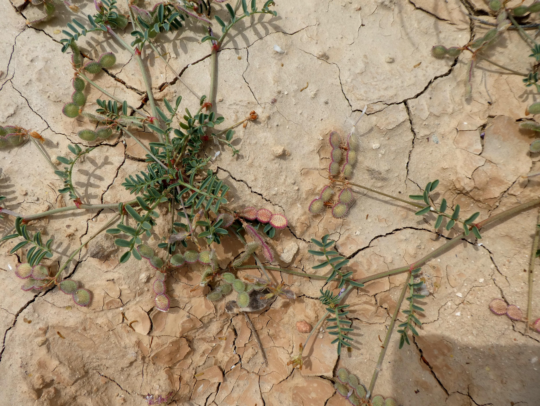 Hedysarum spinosissimum